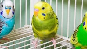 Что нужно в клетку волнистому попугаю?