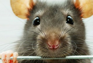 Как содержать крысу?