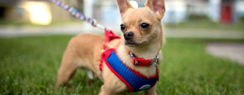 Как выбрать размер шлейки для собаки?