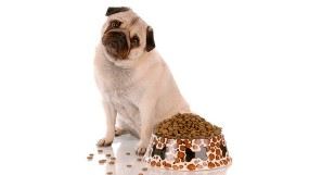 Каким кормом кормить Мопса?