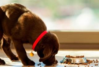 Когда переводить щенка на взрослый корм?
