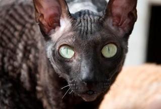 Кошка Корниш-рекс