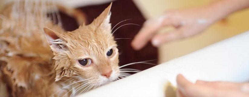 Можно ли мыть кота обычным шампунем?