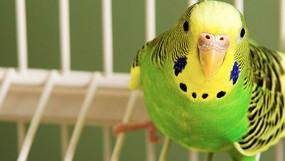 Размер клетки для волнистого попугая