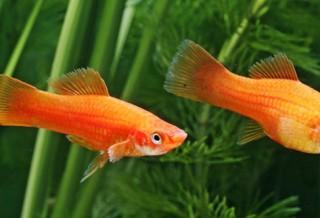 Какие аквариумные рыбки самые живучие?
