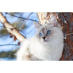 Все о сибирских кошках