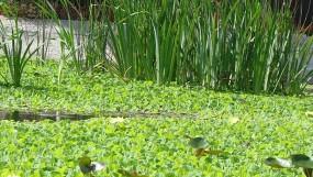Как избавиться от водорослей в пруду?