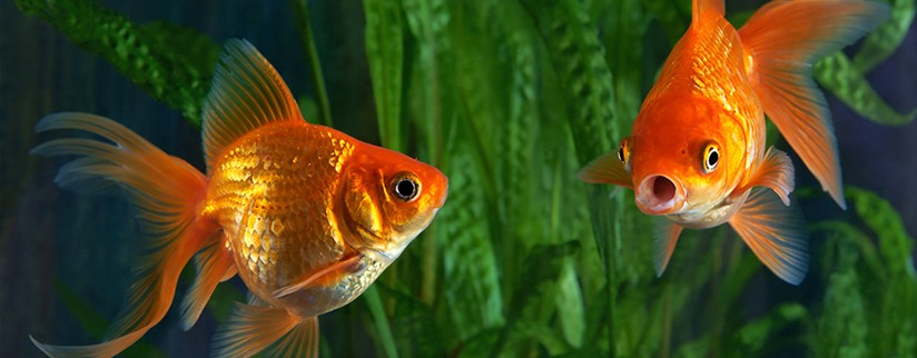 Золотая рыбка содержание и уход