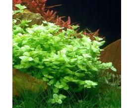 Растение для аквариума Бакопа австралийская (Bасора australis)