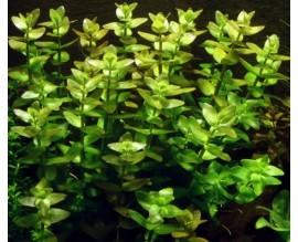 Растение для аквариума Бакопа каролинская BACOPA CAROLINIANA
