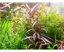 Растение для аквариума Гигрофила арагвая (HYGROPHILA ARAGUAIA)