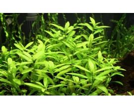 Растение для аквариума Гигрофила многосеменная