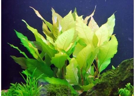 Растение для аквариума Гигрофила щитковидная Таиланд