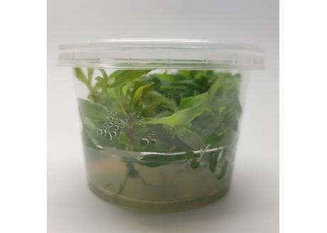 Растение для аквариума Гигрофила сиамская 53Б