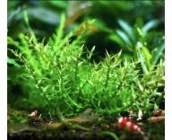 Растение для аквариума Гратиола висцидула