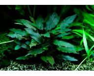 Растение для аквариума Криптокорина Беккетта Петча
