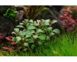 Растение для аквариума LUDWIGIA 'DARK ORANGE'